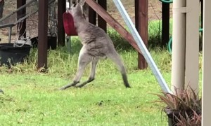 Wild Kangaroo Joey Playing with a Swing