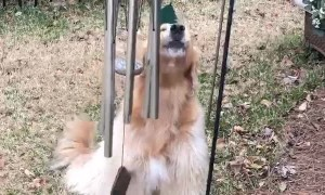 Doggie Sings Along With Wind Chimes