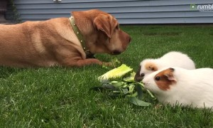 Big dog casually enjoys a snack with guinea pigs