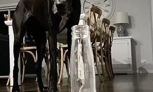 Great Dane Is Just As Frustrated With The Corona As Everyone Else!
