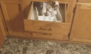 Gizmo Gets Herself Stuck in the Kitchen Drawer
