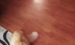 Hogan the Cat Hates Vacuums