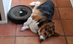Corgi Uses Robot Vacuum as Belly Rub Machine