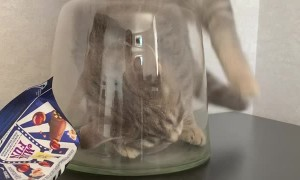 Adventurous Kitty Gets Stuck in A Vase