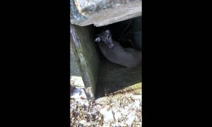 Saving a White Tail Deer From a Well