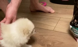 Impatient Pomeranian is Anxious for Eats