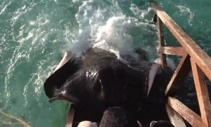 Huge stingray amazingly jumps onto ramp to get food from human
