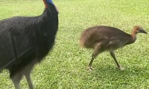Cassowaries Visit Queensland Family in Quarantine