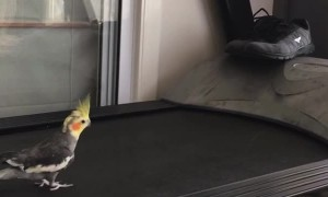 Cheddar the Running Cockatiel