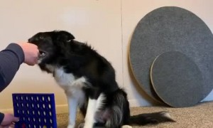 Watch this dog play Connect 4 with owner during quarantine