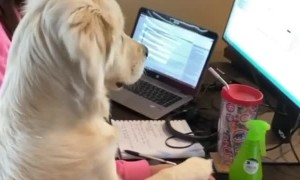 Golden Retriever makes working from home adorably difficult