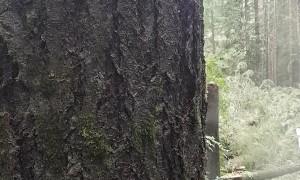 Cutting Down a Big Tree, Solo