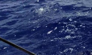 Harpooning a Mahi-Mahi Fish