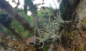 Lichen Grasshopper Climbs Tree Limb