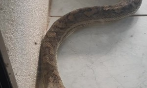 Carpet Python Comes for Early Morning Visit