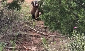 Battle Between Badger and Rattlesnake