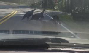Turkeys Gobble When Car Horn in Honked