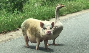 Pig and Goose Going for a Walk Together