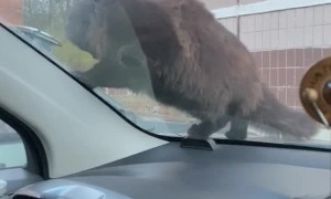 Cat Keeps Getting Startled by Car Horn