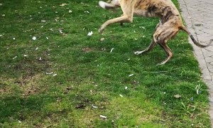 Rare Zoomies From A Retired Greyhound