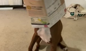Doggo Proudly Shows Off That He Got His Head Stuck in a Box of Snacks