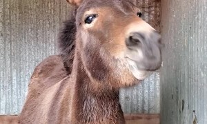Teeter the Mini Mule Can't Stop Smiling