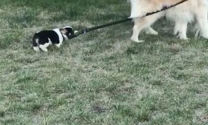 Corgi Pup Tries to Take Woofer for a Walk
