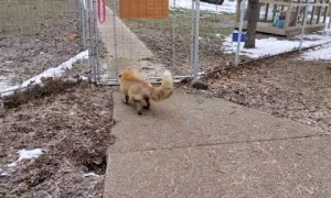 Jolly red fox laughs excitedly while being pet