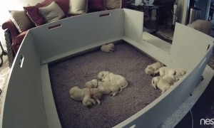 Two Week Old Golden Retriever Puppy Can't Find Mom