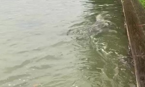 Playful Dolphin Splashes with Frenchies