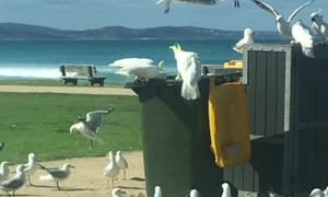 Cockatoo is a Master at Opening Garbage Cans