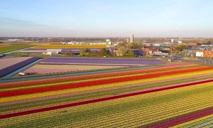 Beautiful Hyacinths and Tulips Bloom in Holland