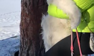Fluffy Dog Rides a Swing