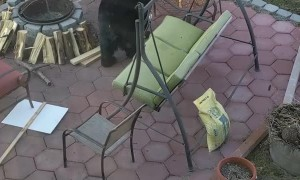 Black Bear Close up in Back Yard