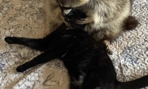 Sweet Raccoon Loves Hugging Kitty Friend