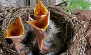 Sleepy Baby Birds Fooled by Knock Into Thinking It's Feeding Time