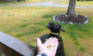 Stellar Jay, Hungry Moose, and Playful Cat Enjoy Rainfall