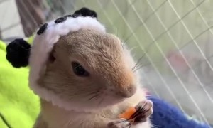 Cute Critter in a Knit Cap Crunching on Carrots