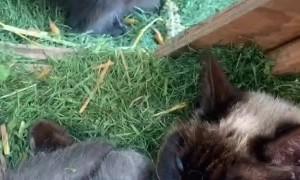 Sweet Mama Kitty Feeds Baby Raccoon