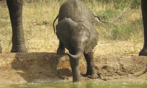 Adorable baby elephant take a clumsy tumble into watering hole