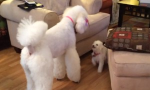 Tiny puppy confidently challenges much larger Giant Poodle