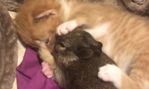 Cute Kitten Cuddles Bunny