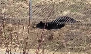 Bear Burrows Underneath Fence