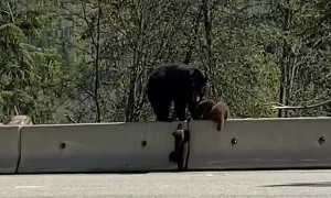 Bear Cub Learning How to Climb Barrier