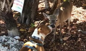 Doggo and Key Deer Give Each Other Kisses