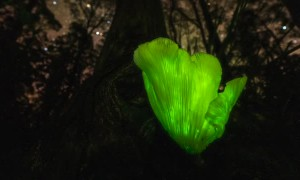 Ghost Mushroom Tasmania Time-Lapse