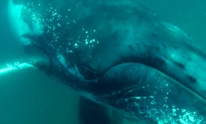 Huge whale smashes into diver's camera with its fin