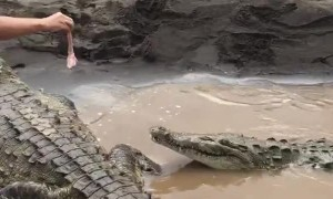 Feeding a Pair of Hungry Crocodiles