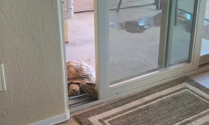 Tortoise Sneaks in Through Sliding Door