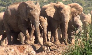 Elephants rush over to save screaming baby stuck in mud hole